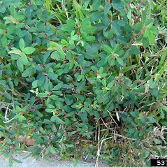 Plant form: Kummerowia striata. ~ By Rebekah Wallace. ~ Copyright © 2017 CC BY-NC 3.0. ~  ~ Bugwood - www.bugwood.org/