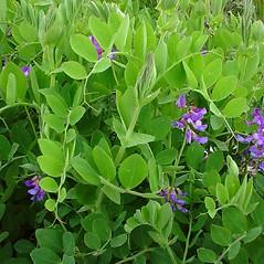 Plant form: Lathyrus japonicus. ~ By Glen Mittelhauser. ~ Copyright © 2017 Glen Mittelhauser. ~ www.mainenaturalhistory.org