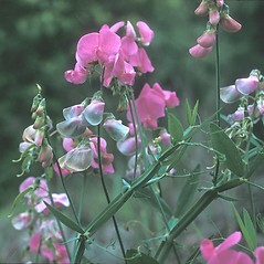 Flowers: Lathyrus latifolius. ~ By Frank Bramley. ~ Copyright © 2018 New England Wild Flower Society. ~ Image Request, images[at]newenglandwild.org