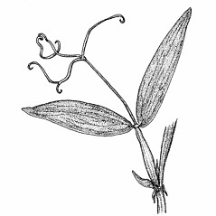 Leaves: Lathyrus latifolius. ~ By Elizabeth Farnsworth. ~ Copyright © 2018 New England Wild Flower Society. ~ Image Request, images[at]newenglandwild.org
