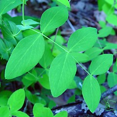 Leaves: Lathyrus ochroleucus. ~ By Arthur Haines. ~ Copyright © 2020. ~ arthurhaines[at]wildblue.net