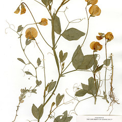 Plant form: Lathyrus odoratus. ~ By CONN Herbarium. ~ Copyright © 2019 CONN Herbarium. ~ Requests for image use not currently accepted by copyright holder ~ U. of Connecticut Herbarium - bgbaseserver.eeb.uconn.edu/