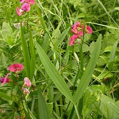 Plant form: Lathyrus sylvestris. ~ By Ben Legler. ~ Copyright © 2020 Ben Legler. ~ mountainmarmot[at]hotmail.com ~ U. of Washington - WTU - Herbarium - biology.burke.washington.edu/herbarium/imagecollection.php