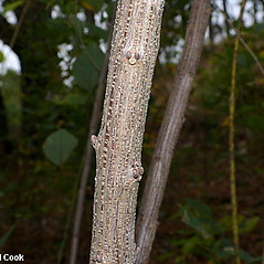 Bark: Lespedeza bicolor. ~ By Will Cook. ~ Copyright © 2019 Will Cook. ~ cwcook[at]duke.edu, carolinanature.com ~ North Carolina Plant Photos - www.carolinanature.com/plants/