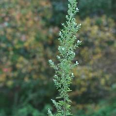 Plant form: Lespedeza cuneata. ~ By Arieh Tal. ~ Copyright © 2018 Arieh Tal. ~ http://botphoto.com/ ~ Arieh Tal - botphoto.com