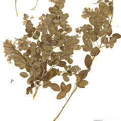 Plant form: Lespedeza cyrtobotrya. ~ By CONN Herbarium. ~ Copyright © 2018 CONN Herbarium. ~ Requests for image use not currently accepted by copyright holder ~ U. of Connecticut Herbarium - bgbaseserver.eeb.uconn.edu/