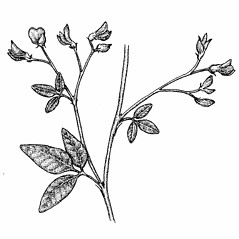 Plant form: Lespedeza frutescens. ~ By Elizabeth Farnsworth. ~ Copyright © 2018 New England Wild Flower Society. ~ Image Request, images[at]newenglandwild.org