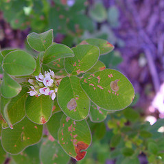 Flowers: Lespedeza hirta. ~ By Arthur Haines. ~ Copyright © 2019. ~ arthurhaines[at]wildblue.net