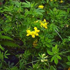 Plant form: Lotus corniculatus. ~ By Glen Mittelhauser. ~ Copyright © 2018 Glen Mittelhauser. ~ www.mainenaturalhistory.org