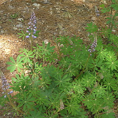 Plant form: Lupinus perennis. ~ By Bruce Patterson. ~ Copyright © 2018 Bruce Patterson. ~ foxpatterson[at]comcast.net