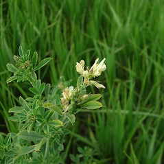 Plant form: Medicago falcata. ~ By Merel Black. ~ Copyright © 2020 Merel R. Black. ~ Merel R. Black, University of Wisconsin-Stevens Point ~ Robert W. Freckmann Herbarium, U. of Wisconsin-Stevens Point