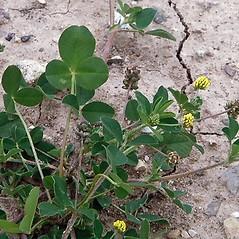 Leaves: Medicago lupulina. ~ By Paul S. Drobot. ~ Copyright © 2018 Paul S. Drobot. ~ www.plantstogrow.com, www.plantstockphotos.com ~ Robert W. Freckmann Herbarium, U. of Wisconsin-Stevens Point