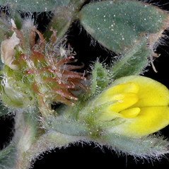 Flowers: Medicago minima. ~ By Gerry Carr. ~ Copyright © 2017 Gerry Carr. ~ gdcarr[at]comcast.net ~ Oregon Flora Image Project - www.botany.hawaii.edu/faculty/carr/ofp/ofp_index.htm