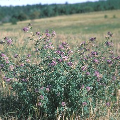 Plant form: Medicago sativa. ~ By Frank Bramley. ~ Copyright © 2019 New England Wild Flower Society. ~ Image Request, images[at]newenglandwild.org