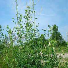 Plant form: Melilotus albus. ~ By Marilee Lovit. ~ Copyright © 2019 Marilee Lovit. ~ lovitm[at]gmail.com