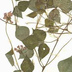 Leaves: Phaseolus coccineus. ~ By CONN Herbarium. ~ Copyright © 2018 CONN Herbarium. ~ Requests for image use not currently accepted by copyright holder ~ U. of Connecticut Herbarium - bgbaseserver.eeb.uconn.edu/