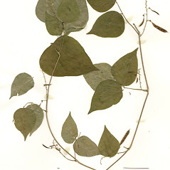 Plant form: Phaseolus polystachios. ~ By CONN Herbarium. ~ Copyright © 2018 CONN Herbarium. ~ Requests for image use not currently accepted by copyright holder ~ U. of Connecticut Herbarium - bgbaseserver.eeb.uconn.edu/