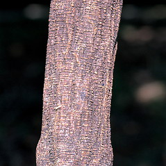 Bark: Pueraria montana. ~ By James Miller. ~ Copyright © 2017 CC BY-NC 3.0. ~  ~ Bugwood - www.bugwood.org/