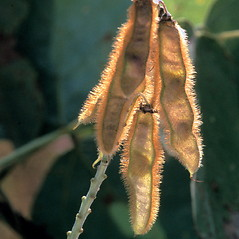 Fruits: Pueraria montana. ~ By Ted Bodner. ~ Copyright © 2017 CC BY-NC 3.0. ~  ~ Bugwood - www.bugwood.org/