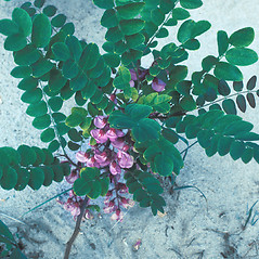 Leaves: Robinia hispida. ~ By David Stone. ~ Copyright © 2017 New England Wild Flower Society. ~ Image Request, images[at]newenglandwild.org