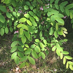 Leaves: Robinia hispida. ~ By Marilee Lovit. ~ Copyright © 2017 Marilee Lovit. ~ lovitm[at]gmail.com