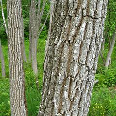 Bark: Robinia pseudoacacia. ~ By Donna Kausen. ~ Copyright © 2018 Donna Kausen. ~ 33 Bears Den, Addison, ME 04606