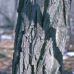 Bark: Robinia pseudoacacia. ~ By Frank Bramley. ~ Copyright © 2018 New England Wild Flower Society. ~ Image Request, images[at]newenglandwild.org