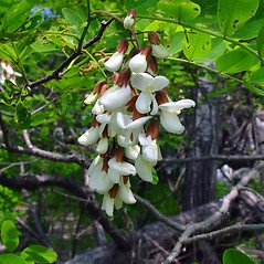 Flowers: Robinia pseudoacacia. ~ By Arthur Haines. ~ Copyright © 2018. ~ arthurhaines[at]wildblue.net
