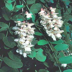 Flowers: Robinia pseudoacacia. ~ By Frank Bramley. ~ Copyright © 2018 New England Wild Flower Society. ~ Image Request, images[at]newenglandwild.org