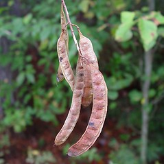 Fruits: Robinia pseudoacacia. ~ By Arthur Haines. ~ Copyright © 2017. ~ arthurhaines[at]wildblue.net