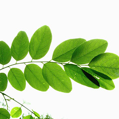Leaves: Robinia pseudoacacia. ~ By Donna Kausen. ~ Copyright © 2020 Donna Kausen. ~ 33 Bears Den, Addison, ME 04606