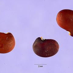 Fruits: Robinia viscosa. ~ By Tracey Slotta. ~  Public Domain. ~   ~ USDA-NRCS Plants Database - plants.usda.gov/java/