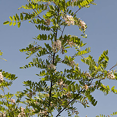 Plant form: Robinia viscosa. ~ By Giuseppe Sardi. ~ Copyright © 2018 Giuseppe Sardi. ~ www.parcocurone.it/ambiente/flora/index.php ~ Acta Plantarum -  www.actaplantarum.org