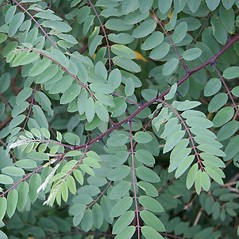 Leaves: Robinia viscosa. ~ By Robert Vid_ki. ~ Copyright © 2019 CC BY-NC 3.0. ~  ~ Bugwood - www.bugwood.org/