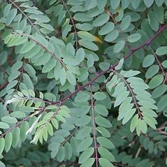 Leaves: Robinia viscosa. ~ By Robert Vid_ki. ~ Copyright © 2018 CC BY-NC 3.0. ~  ~ Bugwood - www.bugwood.org/