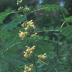 Plant form: Senna hebecarpa. ~ By Lawrence Newcomb. ~ Copyright © 2017 New England Wild Flower Society. ~ Image Request, images[at]newenglandwild.org