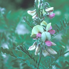 Flowers: Tephrosia virginiana. ~ By Frank Bramley. ~ Copyright © 2019 New England Wild Flower Society. ~ Image Request, images[at]newenglandwild.org