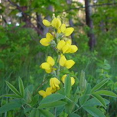 Plant form: Thermopsis villosa. ~ By Arthur Haines. ~ Copyright © 2018. ~ arthurhaines[at]wildblue.net