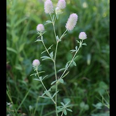 Plant form: Trifolium arvense. ~ By Arieh Tal. ~ Copyright © 2018 Arieh Tal. ~ http://botphoto.com/ ~ Arieh Tal - botphoto.com