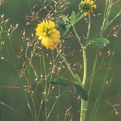 Flowers: Trifolium aureum. ~ By Albert Bussewitz. ~ Copyright © 2017 New England Wild Flower Society. ~ Image Request, images[at]newenglandwild.org