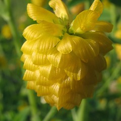 Flowers: Trifolium aureum. ~ By Marilee Lovit. ~ Copyright © 2020 Marilee Lovit. ~ lovitm[at]gmail.com