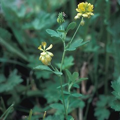 Plant form: Trifolium aureum. ~ By Frank Bramley. ~ Copyright © 2017 New England Wild Flower Society. ~ Image Request, images[at]newenglandwild.org