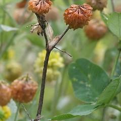 Fruits: Trifolium campestre. ~ By Arieh Tal. ~ Copyright © 2019 Arieh Tal. ~ http://botphoto.com/ ~ Arieh Tal - botphoto.com