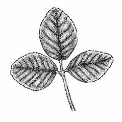 Leaves: Trifolium campestre. ~ By Elizabeth Farnsworth. ~ Copyright © 2018 New England Wild Flower Society. ~ Image Request, images[at]newenglandwild.org