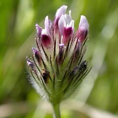 Flowers: Trifolium dichotomum. ~ By Keir Morse. ~ Copyright © 2020 Keir Morse. ~ www.keiriosity.com ~ www.keiriosity.com