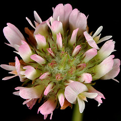 Flowers: Trifolium fragiferum. ~ By Gerry Carr. ~ Copyright © 2019 Gerry Carr. ~ gdcarr[at]comcast.net ~ Oregon Flora Image Project - www.botany.hawaii.edu/faculty/carr/ofp/ofp_index.htm