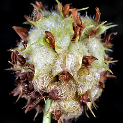 Fruits: Trifolium fragiferum. ~ By Gerry Carr. ~ Copyright © 2019 Gerry Carr. ~ gdcarr[at]comcast.net ~ Oregon Flora Image Project - www.botany.hawaii.edu/faculty/carr/ofp/ofp_index.htm