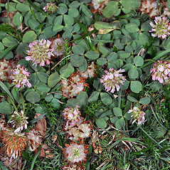 Plant form: Trifolium fragiferum. ~ By Gerry Carr. ~ Copyright © 2019 Gerry Carr. ~ gdcarr[at]comcast.net ~ Oregon Flora Image Project - www.botany.hawaii.edu/faculty/carr/ofp/ofp_index.htm