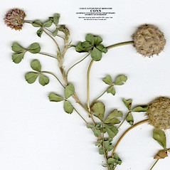 Leaves: Trifolium fragiferum. ~ By CONN Herbarium. ~ Copyright © 2019 CONN Herbarium. ~ Requests for image use not currently accepted by copyright holder ~ U. of Connecticut Herbarium - bgbaseserver.eeb.uconn.edu/
