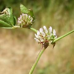 Stems: Trifolium glomeratum. ~ By Neal Kramer. ~ Copyright © 2019 Neal Kramer. ~ kramerbotanical[at]yahoo.com ~ CalPhotos - calphotos.berkeley.edu/flora/